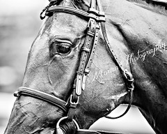 Camelot Kitten (EASY GOER) Tags: portrait bw horse sports face canon belmont mark iii racing 5d races equine thoroughbreds equines