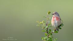 Linotte mlodieuse ( Linaria cannabina )-6 (lolo_31) Tags: birds aves oiseaux fringillidae cardueliscannabina commonlinnet linottemlodieuse fringillids passriformes