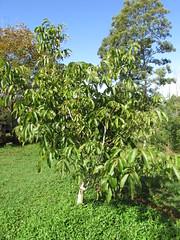 starr-160103-3387-Juglans_regia-home_orchard_habit-Piiholo-Maui (Starr Environmental) Tags: juglansregia