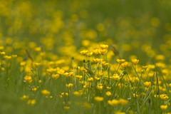 Butter Love (Photography by Tosh) Tags: uk flowers england nature yellow photography coast suffolk nikon buttercup unitedkingdom gb eastanglia benacre covehithe martintosh