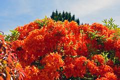 9198 Orangscher Rhododendron.  Orange Rhododendron. (Fotomouse) Tags: orange nature garden bush flickr blossom outdoor natur blossoms rhododendron blte garten strauch busch draussen blten strucher orangerhododendron fotomouse