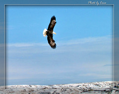 Feb 2012 - Bald eagle by Cuca north of Worland (lazy_photog) Tags: photography flying eagle bald lazy wyoming elliott photog worland