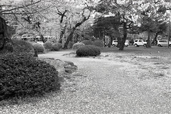 201604-08 (GenJapan1986) Tags: blackandwhite film japan spring university   cherryblossoms  miyagi  tohokuuniversity  ilfordhp5plus 2016      nikonnewfm2