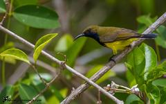 Olive-backed Sunbird (birdingexperience) Tags: nature thailand photography asia wildlife birding sunbird wildlifephotography birdingexperience