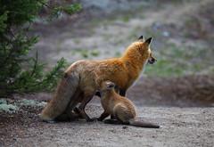 Feeding time - EXPLORED (June 16,2016) (JD~PHOTOGRAPHY) Tags: fox foxkit femalefox motherandbaby offspring foxes wildanimals wildlife animals wild northamericanwildlife canon canon6d nature ngc