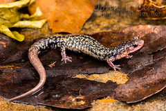 Caddo Mountain Salamander (Plethodon caddoensis) (John P Clare) Tags: leaves metallic amphibian salamander dot copper spotted arkansas endemic newt ouachitamountains ouachitas blackbody lungless plethodontid caddomountains plethodoncaddoensis caddomountainsalamander