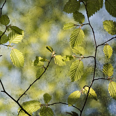 Spring leaves (Ali's view) Tags: colour green texture spring growth layers twigs lightandshade