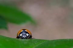 ladybug (petitpixel) Tags: nikon ladybug coccinelle d5100 flickrunitedaward nikkor40mm