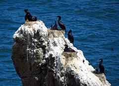 Cormorant Nests (Ketrilla) Tags: birds oregon cormorants pacific nests yaquina