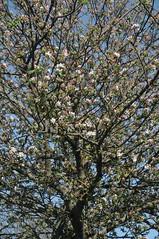 Apfelbaum (Malus sp.) in Blte; Borgwedel, Schwansen (4) (Chironius) Tags: trees flower tree fleur germany deutschland rboles blossom flor boom arbres rbol alemania  fiore albero blte bume allemagne arbre rvore baum apfel trd germania schleswigholstein blten rosales ogie aa  pomie malus rosaceae     niemcy pyrinae rosoideae rosids    rosengewchse schwansen pomienie rosenartige kernobstgewchse pyreae szlezwigholsztyn fabids