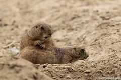 prairiehondjes, Wildlands-7720 (Josette Veltman) Tags: zoo nederland drenthe emmen dierentuin prairiehondje knaagdier prairiehondjes wildlands