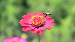 Honeybee's Landing to the Zinnia (Johnnie Shene Photography(Thanks, 1Million+ Views)) Tags: wild flower macro nature floral horizontal closeup canon lens photography daylight fly flying dc spring flora day natural outdoor wildlife flight sigma tranquility nopeople depthoffield bee landing midair zinnia honeybee tranquil freshness tranquilscene hymenoptera   fragility hymenopteran 1770mm colourimage  f284  foregroundfocus livingorganism  eos600d rebelt3i kissx5 animalandplant
