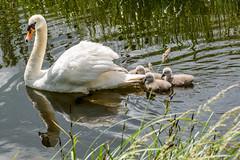 swan and cygnets 15 June 2016 (Lisas-Life.com) Tags: river swan cygnet
