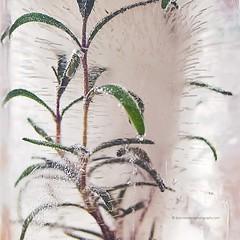 water (Dickinson-Davis Photography) Tags: ice water frozen rosemary herb bestofweek1 bestofweek3 bestofweek4