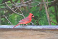 Cardinal (electricthrift) Tags: birds cardinal nikon70300mmf4556gedifafsvrnikkorzoomlens
