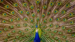 ..:: peacock ::.. (bora_binguel) Tags: blue bird nature animal austria sterreich urlaub natur peacock blau mavi tier vogel ku pfau hayvan avusturya doa tavuskuu bobidigitalphotography