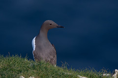 Guillemot (Simon Stobart (trying to catch up)) Tags: sea england cliff grass north guillemot