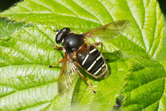Hoverfly- Sericomyia lappona (linanjohn) Tags: uk macro nature wildlife insects cumbria syrphidae diptera hoverflies eristalinae sericomyiini sericomyialappona drumburghmossnnr