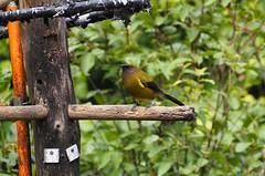 Bellbird (dougnewdick) Tags: bird animal songbird zealandia bellbird