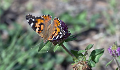 Painted Lady Butterfly (Vanessa cardul); Santa Fe National Forest, NM, Thompson Ridge [Lou Feltz] (deserttoad) Tags: show summer flower up butterfly this us is year first location more will shows ive seen increase specimen density blooming widespread showy fairly regularly progresses
