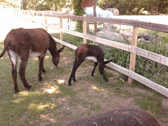 Baby Donkey up close (Ceorl) Tags: farm donkey babyanimal mammothdonkey