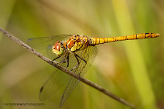 Common Darter (ABPhotosUK (Thanks for 600 followers)) Tags: macro animals canon dragonflies wildlife devon nocrop invertebrates odonata anisoptera commondarter sympetrumstriolatum devonwildlifetrust ef25mmextensiontube meethquarry eos7dmarkii ef100400mmisii