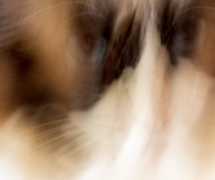 Gandalf in a blur (PDKImages) Tags: pet cute animal cat nose eyes furry doll fluffy whiskers domestic puss rag pussycat ragdoll moggy househould
