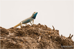 Yellow-spotted Agama (markjasminphotography) Tags: nature animal reptile wildlife lizard agama