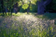 grass (thomas.erskine) Tags: morning trees summer grass backlight river ottawa parkway jun 2016 20160614imgp0502teelev