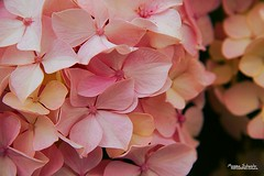 Softness (Setsukoh) Tags: hortensia hydrangea macrophylla fleur flower bulmen plant plante nature zoom grosplan rose pink softness douceur doux soft breizh bretagne brochall france frankreich perrosguirec ctesdarmor armorique fras perrozguireg aodouanarvor arvor