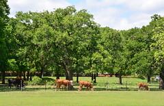 Rural America HFF (The Old Texan) Tags: yard town nikon texas cattle fredericksburg