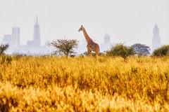 Nairobi National Park, Kenya (paulinuk99999 (lback to photography at last!)) Tags: paulinuk99999 nairobinationalpark kenya nairobi skyline giraffe july 2016 summer urban wildlife