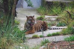 San Francisco Zoo 400 (Michael Fraley) Tags: sumatrantiger