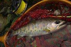 Yamame DSC_2910 (touhenboku) Tags: yamame stream headwter fly flyfishing