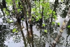 Marea alta en el manglar (Fredy Gmez Suescn) Tags: choc colombia mangle manglar mangrove chocobiogeogrfico pacifico utria pnnutria ensenada lluvia reflejo