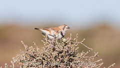 Banded Whiteface (chrissteeles) Tags: bandedwhiteface whiteface bird birding cowariestation outback southaustralia sa