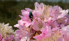 07-070505 Spanien 5 014 (hemingwayfoto) Tags: andalusien blhen blte blume cotadonana europa insekt nationalpark radtour reise rose spanien