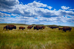 Buffalo in Wyoming (` Toshio ') Tags: toshio wyoming cheyenne terrybisonranch ranch animal field clouds cheyennefrontierdays usa america bigsky calf fujixe2 xe2