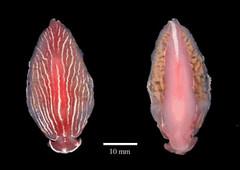 MOL_ 1598_Armina_sp_6200_01_390x276.gif (MaKuriwa) Tags: mollusca gastropoda nudibranchia arminidae armina