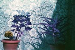 Alijosius (Alksnyte) Tags: analog pentax lomography plants windowsill panevezys lithuania