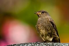 Hausrotschwanz (gutlaunefotos ☮) Tags: hausrotschwanz vogel singvogel farbe natur