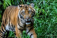 Suka @ 11 Months (ToddLahman) Tags: suka sumatrantiger sandiegozoosafaripark safaripark escondido canon7dmkii canon canon100400 tigers tiger tigertrail tigercub teddy joanne lowlight