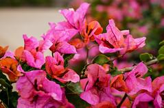 Bougainvillea (weber_sd) Tags: 2016 spring bougainvillea california flower garden santabarbara unitedstates us