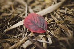 Autumn (AlexanderHorn) Tags: leaves leaf autumn red fall grass macro bokeh sigma season moody beautiful colorful