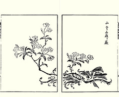 Japanese mountain cherry (Japanese Flower and Bird Art) Tags: flower mountain cherry prunus serrulata rosaceae nobuatsu yamamoto kano woodblock picture book japan japanese art readercollection