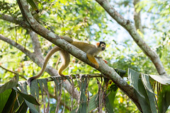 2/4 Black-headed Squirrel Monkey..Singe cureuil de Bolivie ..Saimiri boliviensis (geolis06) Tags: geolis06 prou peru per amriquedusud southamerica manu amazonie amazonia rainforest jungle fort forest madrededios biospherereserve parcnationaldeman mannationalpark 2016 patrimoinemondial unesco unescoworldheritage unescosite pantiacollatour nikon nikond7200 sigma sigma150600mmf563dgoshsmcontemporary primate monkey singe samirissaimiri boliviensisblackheaded squirrel monkeysingecureuil pruviensingessamiris saimiriboliviensis blackheadedsquirrelmonkey squirrelmonkey sapajou sapajouttenoire singecureuilpruvien