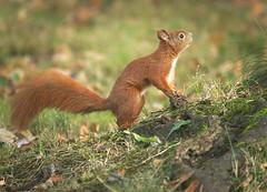 Looking at a tree (hedera.baltica) Tags: squirrel redsquirrel eurasianredsquirrel wiewirka wiewirkapospolita sciurusvulgaris