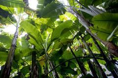 Huge banana in Jardin Botanico - Puerto de la Cruz (Piotr Kowalski) Tags: puertodelacruz jardinbotanico botanicgarden garden botanic flowers green ogród ogródbotaniczny spain espania hiszpania tenerife teneryfa canary canaryislands laorotava orotava banan tree