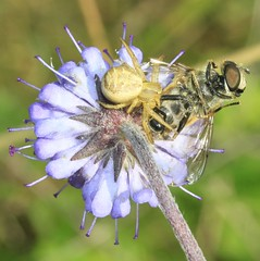 spider with hoverfly prey (BSCG (Badenoch and Strathspey Conservation Group)) Tags: gos