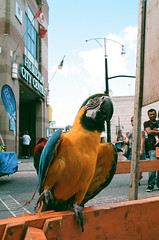Arrr Matey! (Georgie_grrl) Tags: supercrawl musicandartfestival hamilton ontario pentaxk1000 bird colourful macaw parrot pet arrrrmatey doalittledance rikenon12828mm